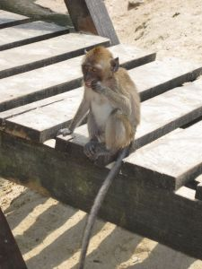 Monkey on Ao Nang.
