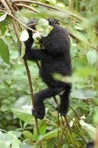 Baby gorilla climbing tree