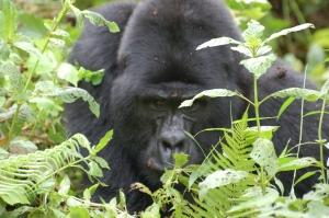 Charging silverback Gorilla
