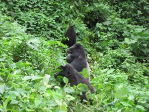 Gorillas in Bwindi Impenetrable forest - Uganda.
